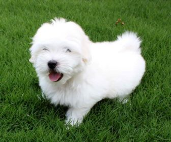 Coton De Tulear Small Puppy Breeds Best Collection About Small Puppy Breeds Dogs