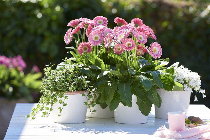 Mooie tuinversiering met Gerberas op je tuintafel 'Sweet Memories Garvinea®