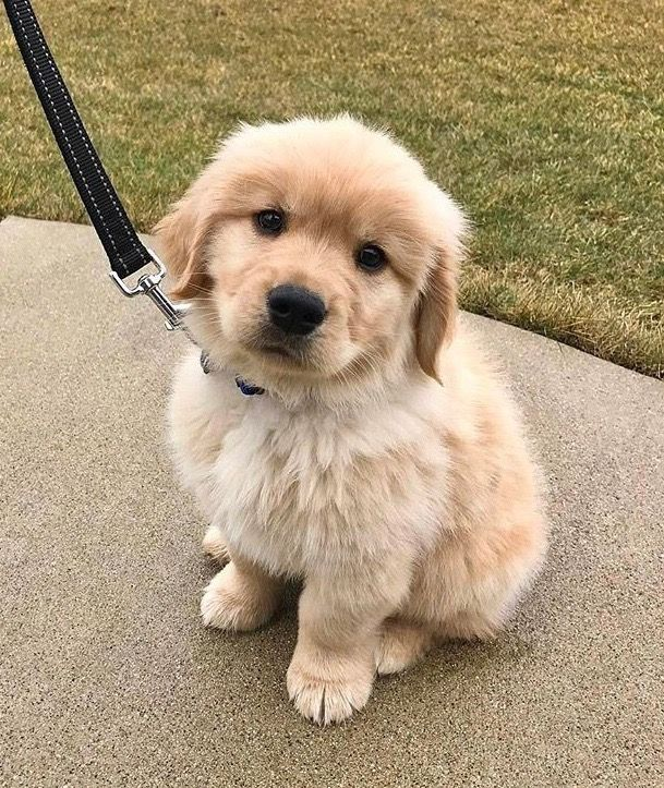Golden Retriever Puppy Puppy Dog Eyes Cute Dogs Dogs
