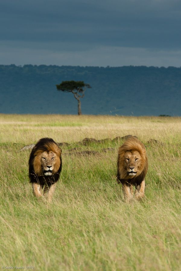 Africa...just back from a hard day of laying around waiting for the lionesses to come home with dinner! :o)