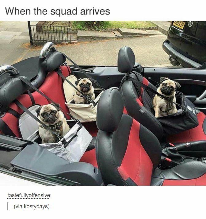 Pug Squad #pugs                                                                                                                                                     More