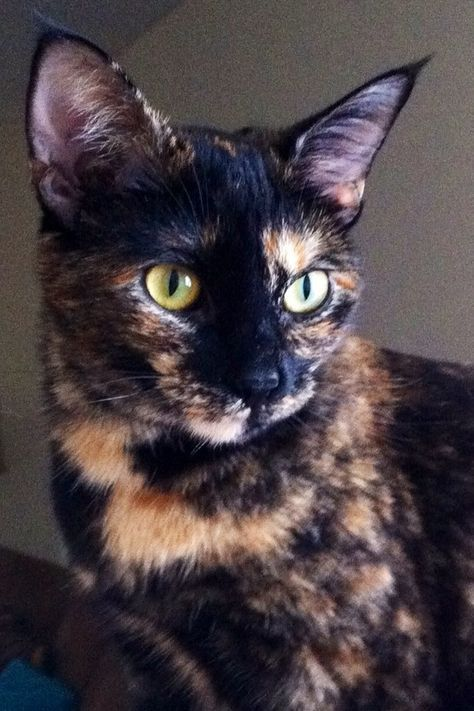 Tortie Cats!!! I have one and will never not have a Tortie, they are the most loving animal ever!!! This one is not mine but similar.... I love their coloring too!!! If you want a lap cat who loves to play too I HIGHLY recommend getting a Tortie!!