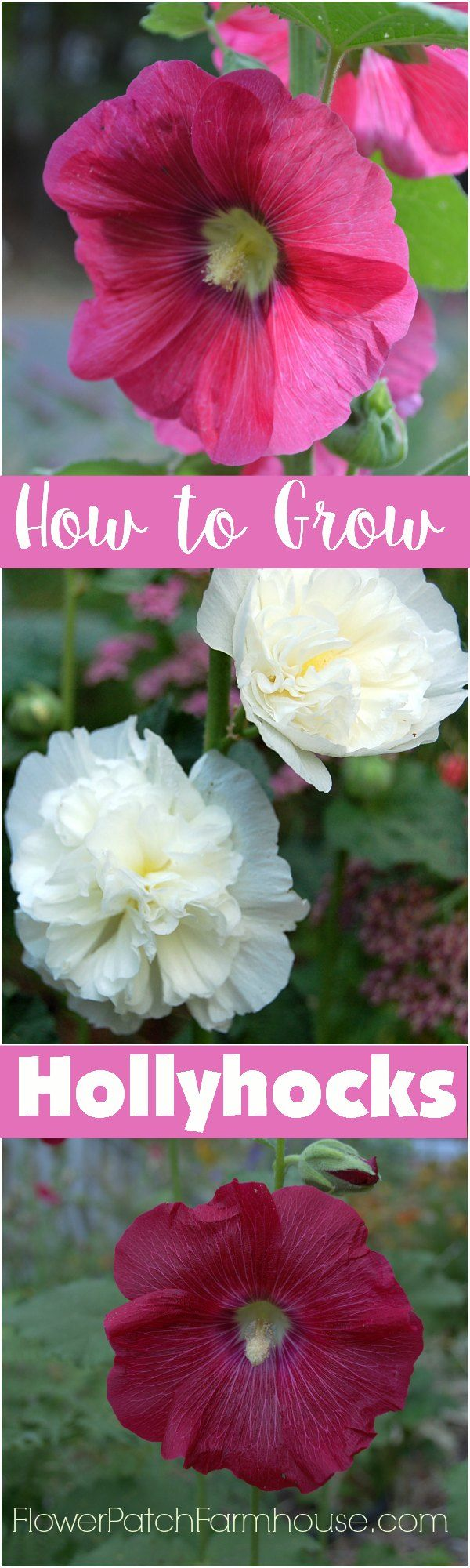 How to Grow Gorgeous Hollyhocks in your Cottage Garden, FlowerPatchFarmhouse.com