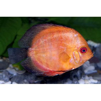 Rivers discus and pigeon on pinterest for All fish diet