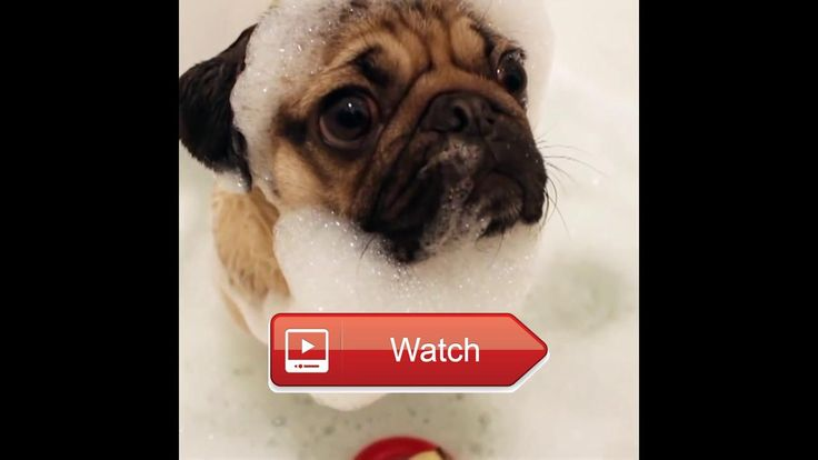 🐬 Best Funny Video of pugs make you laugh You Tube 🐧 Funny pugs compilation Try not to laugh Funny videos Check out these cute and funny…