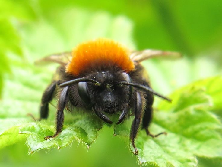 RT @GranthamEcology: Face to face with a foxy tawny mining bee - love these little beauties!