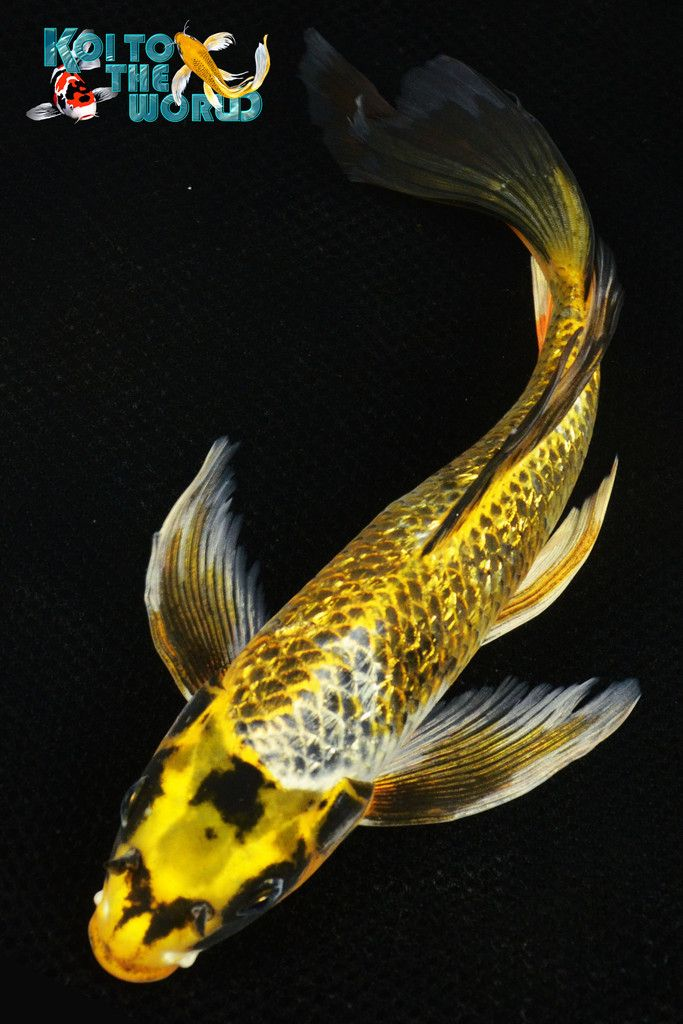91 best images about butterfly koi on pinterest live for Koi fish scales