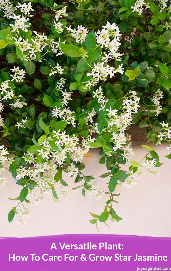 Star Jasmine is can be trained to grow on a trellis, over an arbor, as an espalier against a wall or fence, as a border plant or hedge, to spill over a wall & it's also suited to containers. The sweetly scented star-like flowers along with the gorgeous glossy foliage are its big draw. This is all about how to care for and grow Star Jasmine - a video guides you.