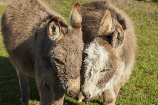 Great reader photo taken at the JF Miniature Donkey Ranch in Skagit Valley!: Readers Photos