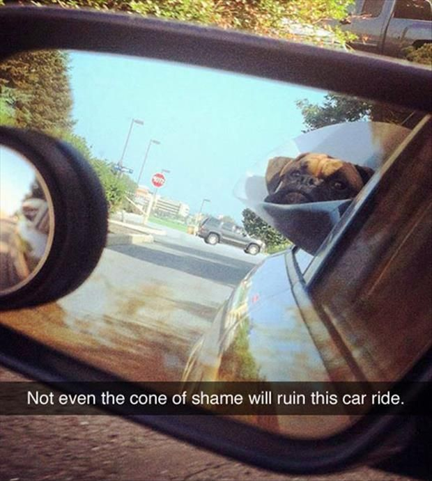 funny animal pictures dog riding in car