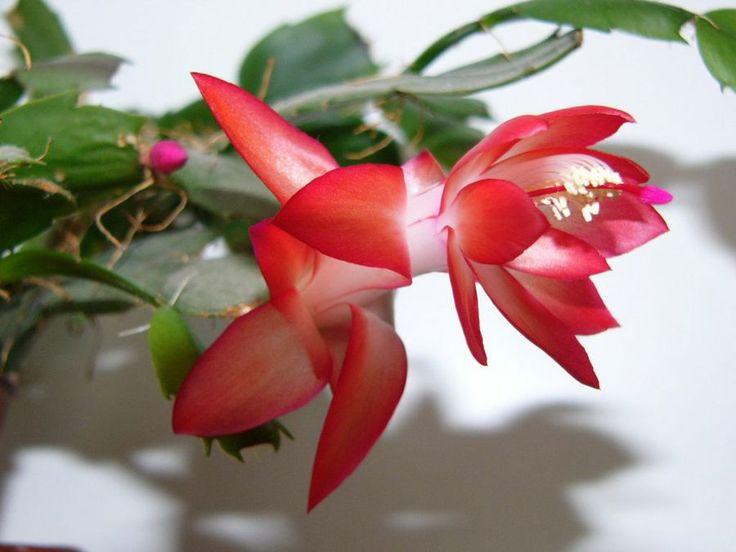 C mo regar el cactus de navidad plantas red facilisimo for Cactus de navidad