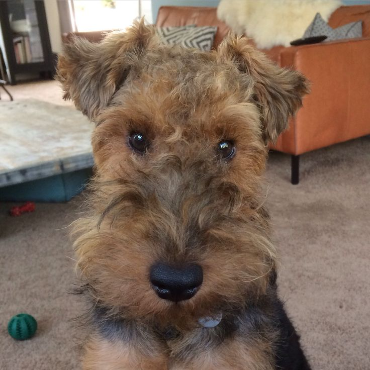 Miles ️ Welsh Terrier 11 months old | Welsh Terrier ... Welsh Terrier 6 Months