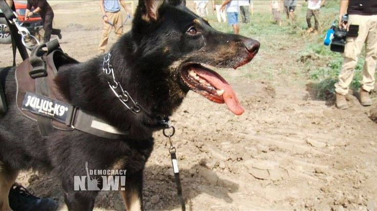 Pipeline Company Terrorizes Native American Protesters With Attack Dogs - The…