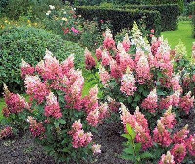 Hydrangea | Pluimhortensia 'Pinky Winky' (Hydrangea paniculata 'Pinky Winky ...