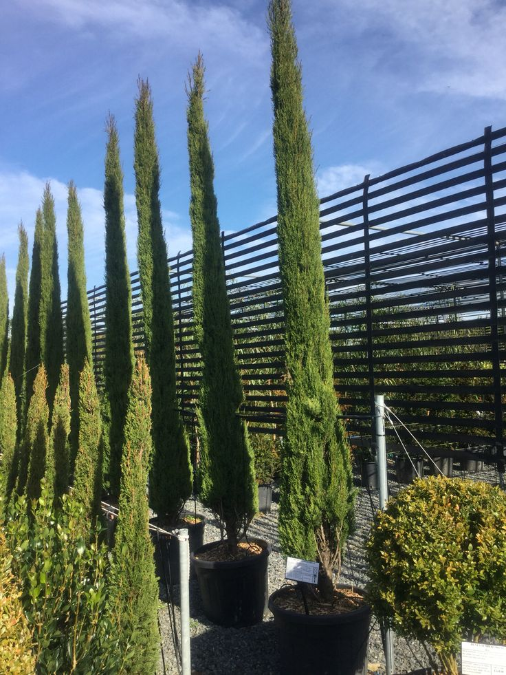 Cupressus, we sell various sizes and we will check with you before you buy that you  know how to look after them!