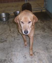 Harvey is an adoptable Hound Dog in Charles City, VA. Harvey is a great dog. We est. his age to be about 5-6 years old and he appears to be a mix of maybe a Black and Tan and a Tree Walker Hound. He i...
