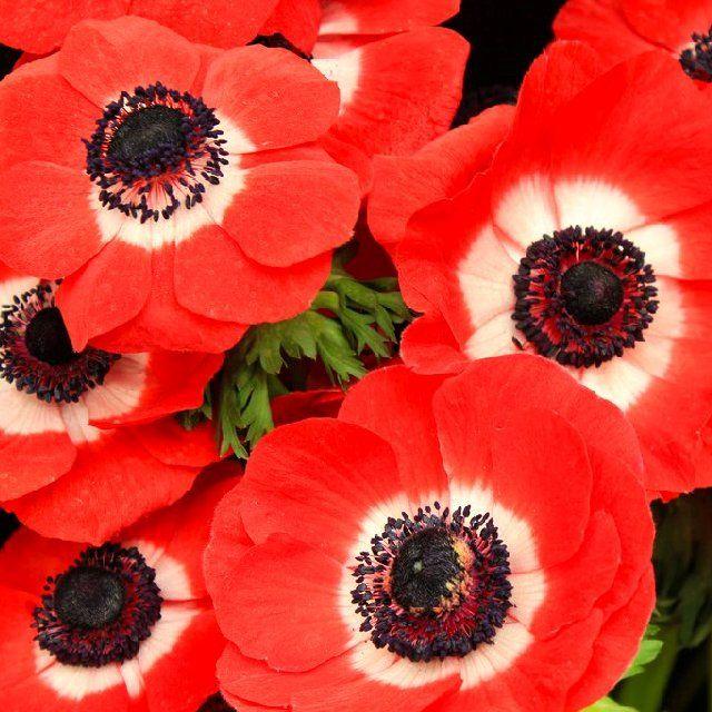 Анемона корончатая: проращивание, посадка и уход — FloweryVale.ru