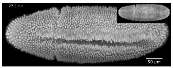 Scientists record fruit fly larva development in 3D with new microscope
