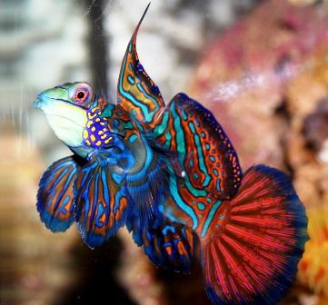 Mandarin Dragonet (or Mandarinfish) (Synchiropus splendidus), is a small, brightly colored member of the dragonet family, which is popular in the saltwater aquarium trade. The mandarinfish is native to the Pacific, ranging approximately from the Ryukyu Islands south to Australia.