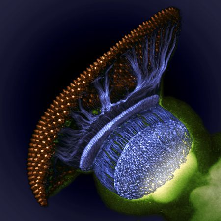 the visual system of a pupal fruit fly at 1500x magnification showing the retina (brown), photoreceptors (blue), and brain (green)