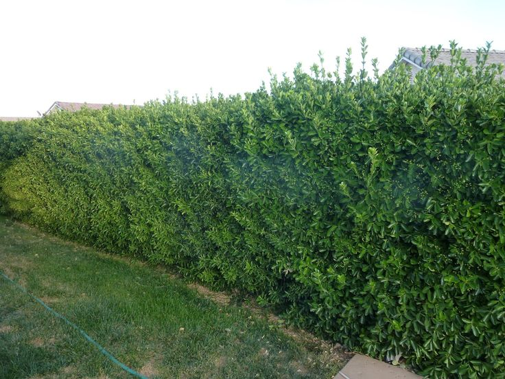 Trees or bushes for privacy fence shrubs are awesome for for Fast growing fence covering plants