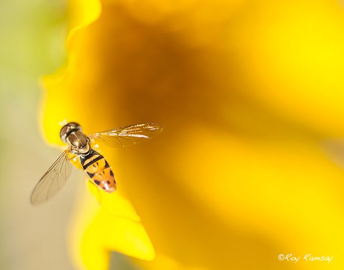 A hover fly dropped by for a visit as I photographed this flower.