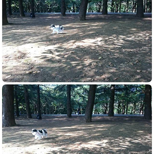 【whatsajapanesechin】さんのInstagramの写真をピンしています。《Posted by @potpourri_chin 林大好きペペロミア💕(ロングリード有) #Peperomiathechin #japanesechin #park #Hikarigaokapark #japanesechinstagram #japanchin #dogs #ilovemydog #pets #petstagram #kawaii #cutie #adorable #lovedogs  #狆オフ会 #自由狆 #マイペース #姉狆 #鼻ぺちゃ #狆 #ふわもこ部 #ペット #散歩 #ふわもこ部 #公園 #林 犬 #🍀🐶》