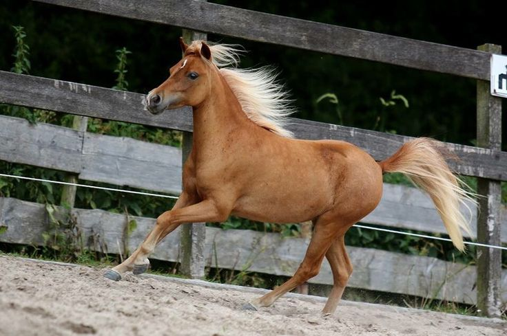 FB: SSF A Gift of Joy to Remember  American Miniature Horse filly gallop equine photography dressage mare caballo pferd AMH amha