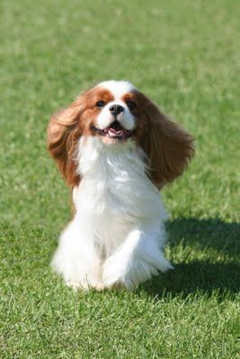 GCH CH Full of Malarkey Miles of Aisles along with all 5 of the Cavalier King Charles Spaniels invited to Westminster 2012. See how cavaliers actually smile!!