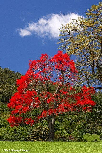 Brachychiton acerifolius - Illawarra Flame Tree, Flame Tree - © All Rights…