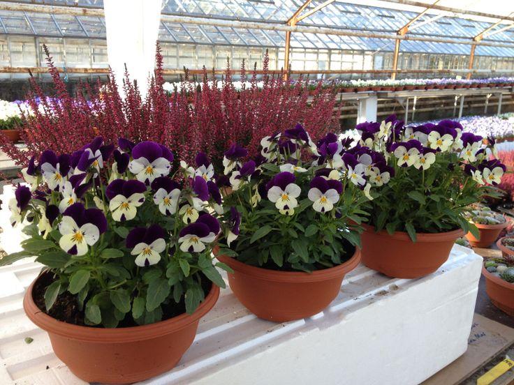 "Småblomstret Stemor:""Høst Hage Fioler"", ""Atum garden Violas"" Blomster-Svein, Grette Gartneri,  Nøsteveien 120 3400 Lier N.  Tlf. 94179050  Post: Svein Åge Opsahl, Kastanjeveien 70 3026  Drammen. N. svop@getmail.no www.blomste-svein.com... www.gartnern.com"