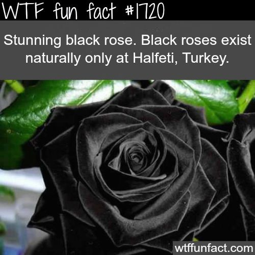 "Black roses in Turkey - WTF fun facts Am I the only one who thinks this is super creepy like what it someone gave this to you black roses are the perfect way to say ""here are some beautiful flowers for you, to bad the look like death"""