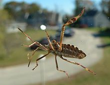 Western conifer seed bug - Wikipedia