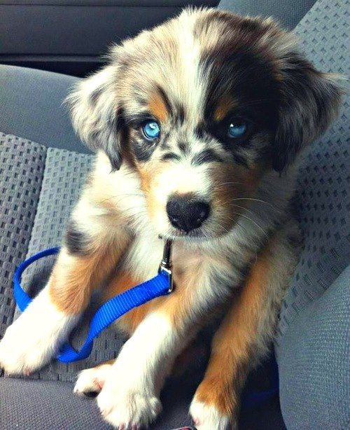 Australian Shepard puppy WITH BLUE EYES! Absolutely precious. WANT!