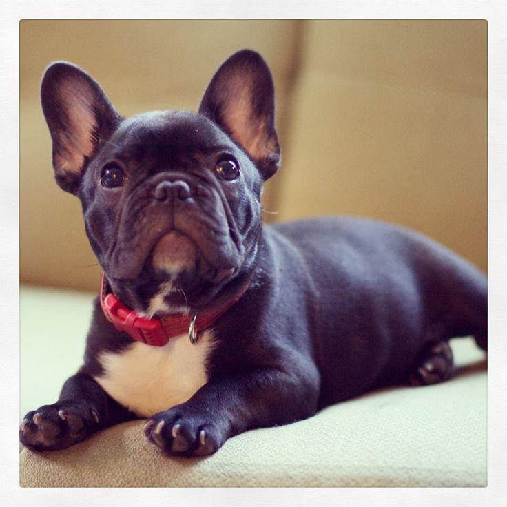 Reveries French Bulldog.