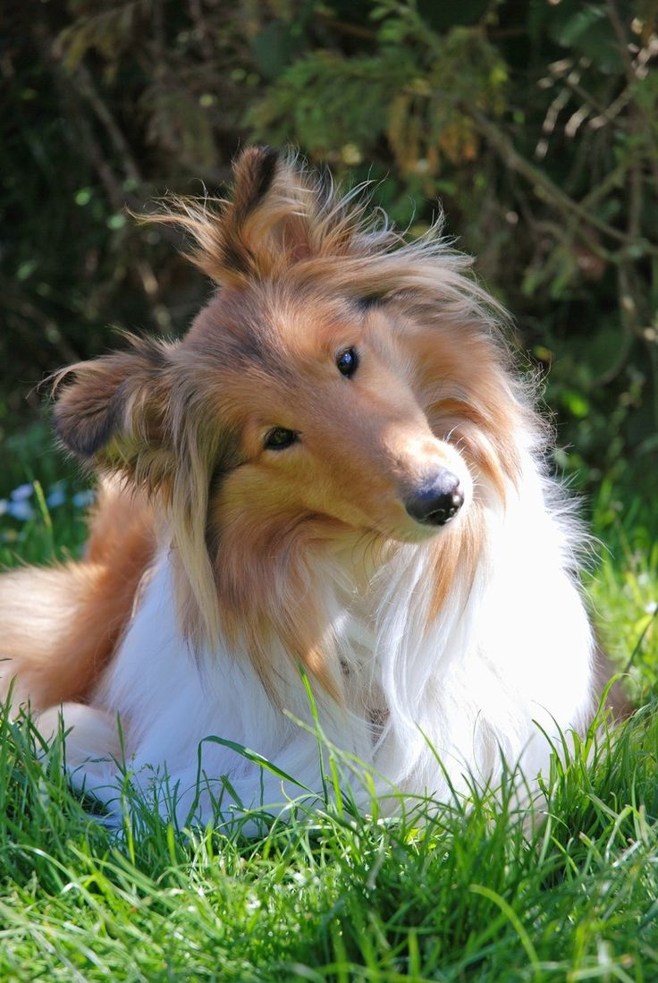 Collie, dog, furry, fluffy, cute, nuttet, beautiful, gorgeous, grass, trees, sweet, gesture, photo.