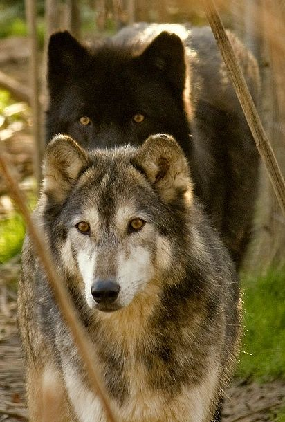 **Wolves: Such awesome creatures