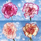 Bi-Color Carnations