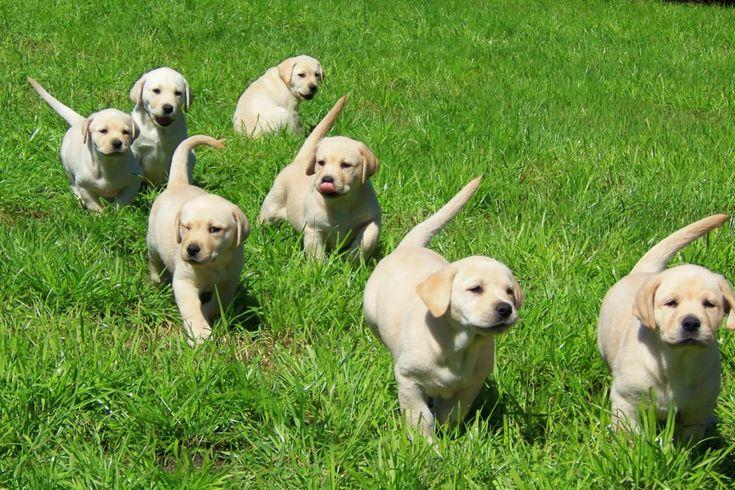 Trail of Labrador Puppies