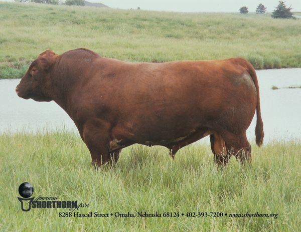 Shorthorn bull