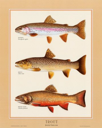 Trout...would be a beautiful print for my husbands room!