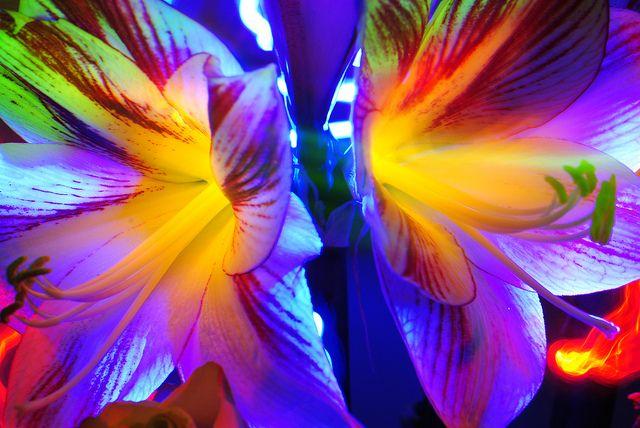 boo-yah wild lily wowza by emellin66, via Flickr