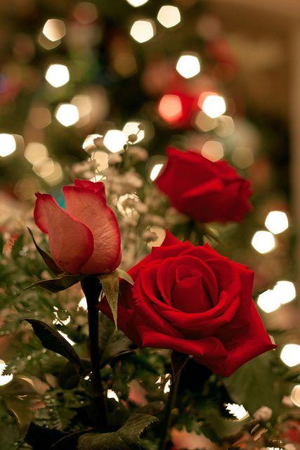 rosas bem vermelhas que eu gosta