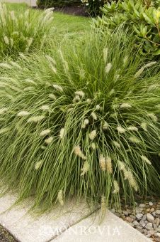 Dwarf Fountain Grass; Full Sun, Occasional watering, Moderate grower to 2 to 3 ft. tall, 1 to 2 ft. wide.