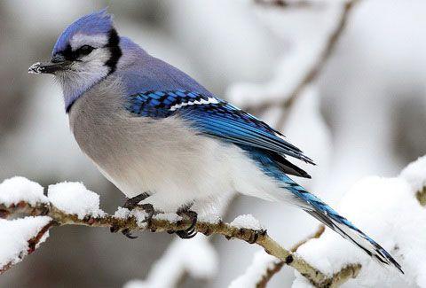 Новости птичьей кормушки. | Голубая сойка, Обои с птицами ...