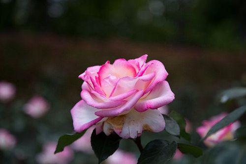 Princesse de Monaco flower plant rose バラ品種名プリンセスドゥモナコ英名princesse de monacoタイプハイブリットティー花色白ふちがピンク花型半剣弁高芯咲ハリウッド女優からモナコ公国王妃となった故グレース大公妃に捧げられた薔薇在りし日の彼女を思わせる可憐で美しい花が咲きますバラ プリンセスドゥモナコ