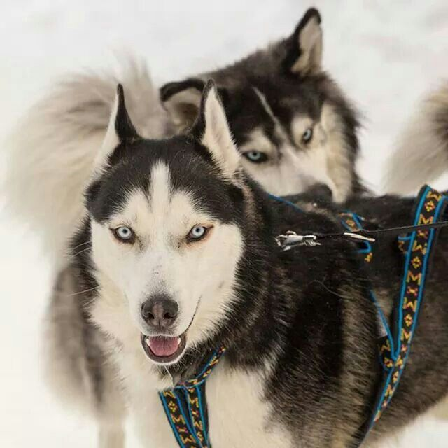 disappointed husky - photo #17