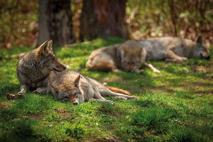 Wilki w naturalnym środowisku. Zdjęcia: Alamy/Bew, Getty Images, Shutterstock, Tobias Wohlleben  #nature #wild #animals #forest #trees #green #inspiration #wolf #natura #fauna #flora #przyroda #dzika #las #Polska #zwierzęta  #wilki