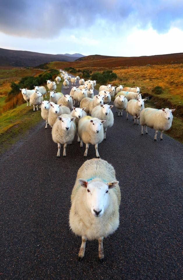 Follow the Leader - Highland Sheep