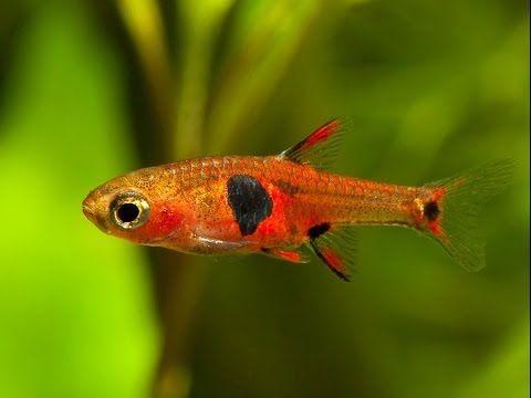 аквариумная рыбка Расбора земляничная клубничная Boraras naevus